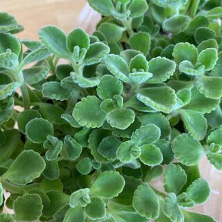 多肉植物 アロマティカス カット苗 10本(プランター)