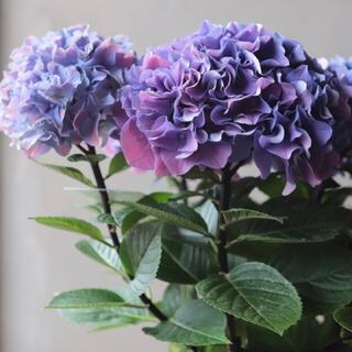 黒茎紫陽花(秋色紫陽花)発根済み挿木苗 2本