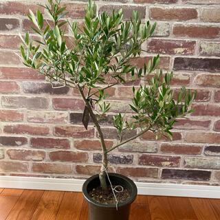 観葉植物 創樹(SOUJU)  幹太 オリーブの木 5号 ネバディロブランコ(プランター)