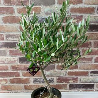 観葉植物 創樹(SOUJU)  幹太 オリーブの木 5号 ネバディロブランコ 2(プランター)