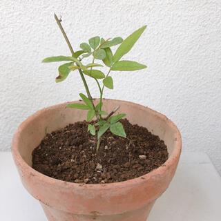 モッコウバラ 白 八重 挿木苗 1苗②(プランター)