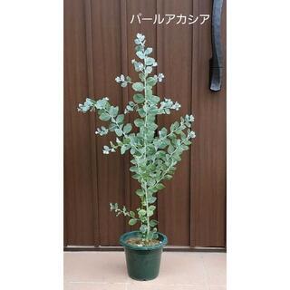 シルバーグリーンの葉が可愛い♡パールアカシア 大きめ鉢植えb シンボルツリーに♪(プランター)