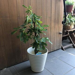 イチジクの木 ホワイトゼノア(その他)