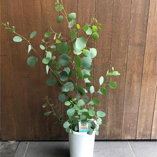 ユーカリポポラスの木(その他)