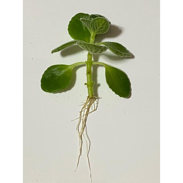 アロマティカス 観葉植物 多肉植物 虫除け ハンドメイドのフラワー/ガーデン(その他)の商品写真