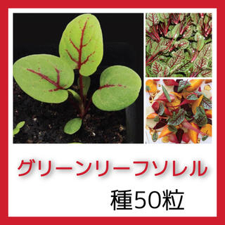 グリーンリーフソレルの種50粒(プランター)