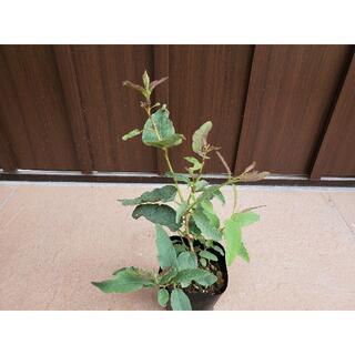 レモンの爽やかな香り♪レモンユーカリ ポット苗31 観葉植物(プランター)