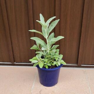 浄化のハーブ♡ホワイトセージ 鉢植え 苗(プランター)