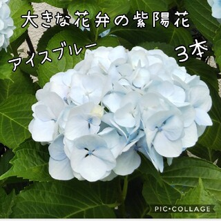 大きな花弁の紫陽花アイスブルー 挿し穂 3本(その他)