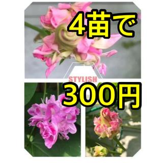 A 西洋朝顔 スプリッドペタル 2 苗(プランター)