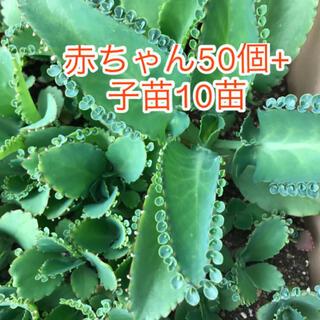多肉植物 子宝草(その他)