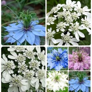 ♥花の種 オルレア ニゲラ イングリッシュ ガーデン(プランター)