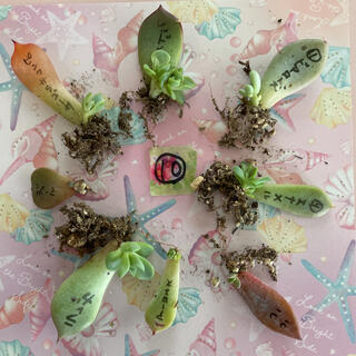 期間限定価格❣ ⑩多肉植物 葉挿し 小苗 8種セット❤(その他)