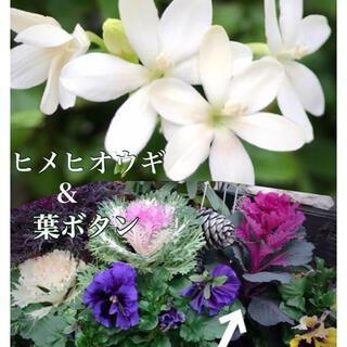 種子 葉ボタン & ヒメヒオウギ (その他)