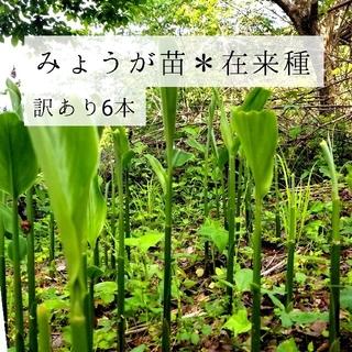 🍀大好評✨みょうがの苗(ミョウガタケ)6本🍀(野菜)