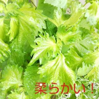⭐立派なやわらかい大葉が育つ種 1g+1g!無農薬 ❤︎発芽率良い❤︎初心者OK(野菜)