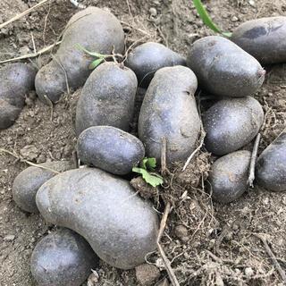 山梨県産無農薬栽培 紫ジャガイモ シャドークイーン約1.2キロ 送料込(野菜)