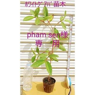 アイアイエムケー(iiMK)の「phamsen」様専用  、ホワイトグアバの苗木・・・サイズ約60cm(その他)