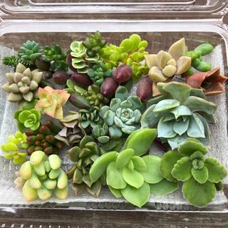 【多肉植物】20種以上の苗セット ◎福岡より発送(その他)