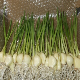 無農薬栽培にんにくスプラウト200g30本~35本(野菜)