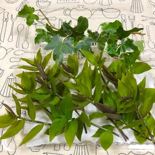 観葉植物☆トラディスカンチア15カット&おまけアイビー(その他)