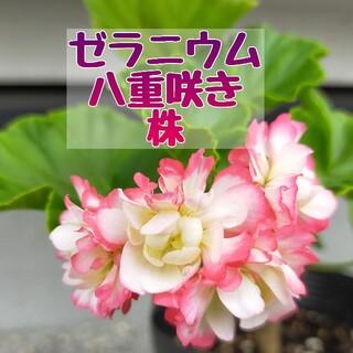 ゼラニウム 八重咲き 苗(プランター)