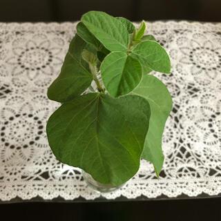 秘伝豆 摘芯苗(野菜)