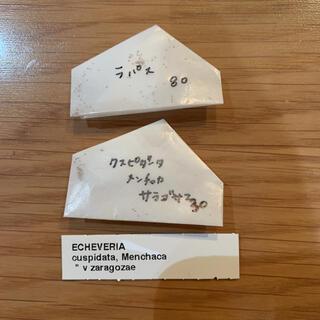 ケーレス 種子 実生 多肉植物 エケベリア