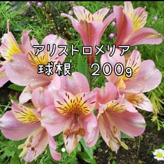 アルストロメリア ピンク系球根 200g(その他)