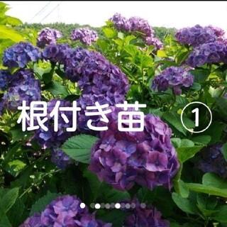 紫陽花 アジサイ ピンク→紫色 根付き苗 抜き苗 (その他)