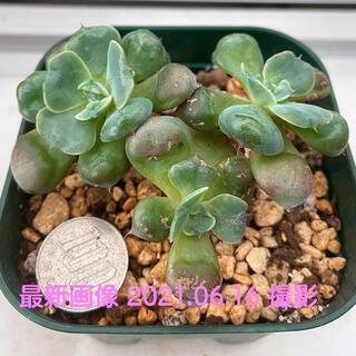 特価‼️韓国苗‼️多肉植物 こぶ系エケベリア  レインドロップス15(その他)