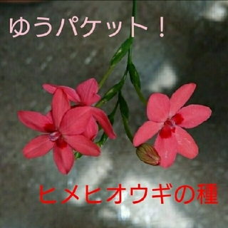 ヒメヒオウギの種(サーモンピンク)100粒+α  (その他)