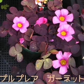 人気☆オキザリス プルプレア ガーネット/バリアビリス パープルドレス 球根6個(その他)