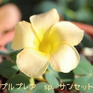 ☆レア☆オキザリス プルプレア/バリアビリス sp. サンセット 球根 7個(その他)