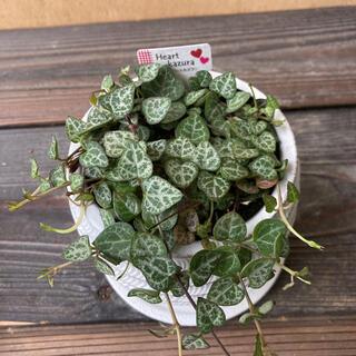 多肉植物 セロぺギア ハートカズラ 陶器鉢付(その他)