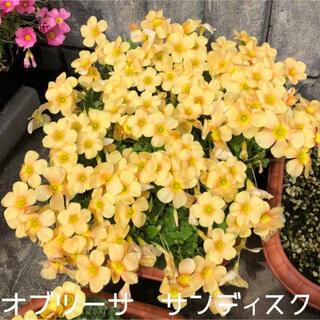 ☆美品☆オキザリス オブツーサ サンディスク 球根 5個 Sundisc(その他)