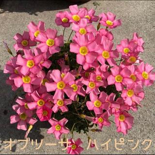 ☆美品☆オキザリス オブツーサ ハイピンク 球根 5個 Highpink(その他)