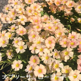 ☆美品☆オキザリス オブツーサ ロージードーン 球根 5個 Rosydown(その他)