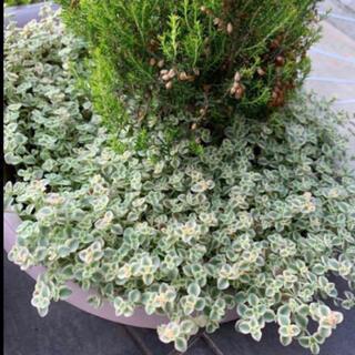多肉植物 カット苗 リトルミッシー  セダム 40本+α(その他)