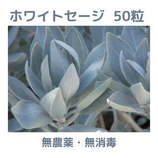 【無農薬・無消毒】ホワイトセージ(サルビア・アピアナ)の種 50粒(その他)