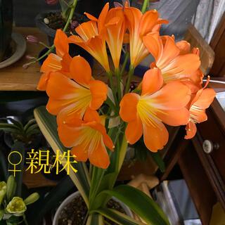 君子蘭(クンシラン)  2021年早播き苗 覆輪✖️黄花縞(その他)
