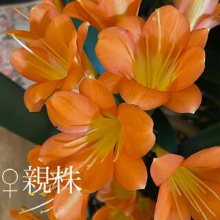 君子蘭(クンシラン)  2021年早播き苗 橙花①✖️黄花縞2株セット(その他)