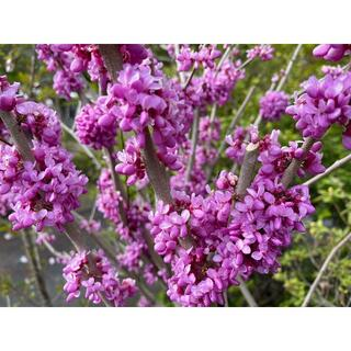 ハナズオウ 挿し穂 3本 ■送料無料 花蘇芳(低木 庭園木)紅紫 葉がハート型(プランター)