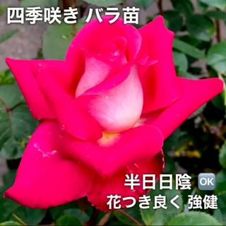 四季咲きバラ苗    挿し木 ばら苗 薔薇苗(その他)