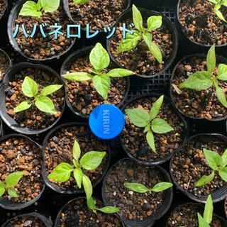 ハバネロレッド 苗3ポット(野菜)