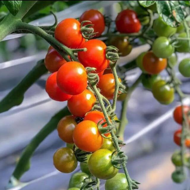 【モモマル様専用】採れたて!ミニトマト3キロ 食品/飲料/酒の食品(野菜)の商品写真