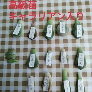多肉植物。葉挿し。高級苗、エケベリアの女王キャラリアン入り。(その他)