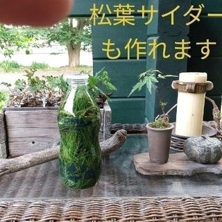 【完全無農薬/即日発送】〈赤松〉の新芽 松葉 たっぷり300g