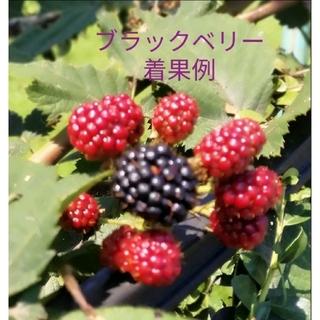 ブラックベリー(ボイソンベリー)苗 2 ポットセット −−枝長さ約50cm(その他)