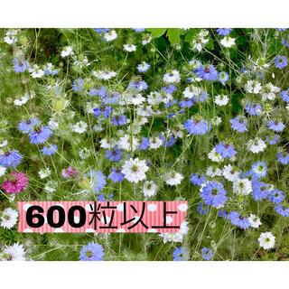 ニゲラ タネ ミックス 600粒(プランター)